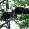 Bald Eagle on Highland Lake