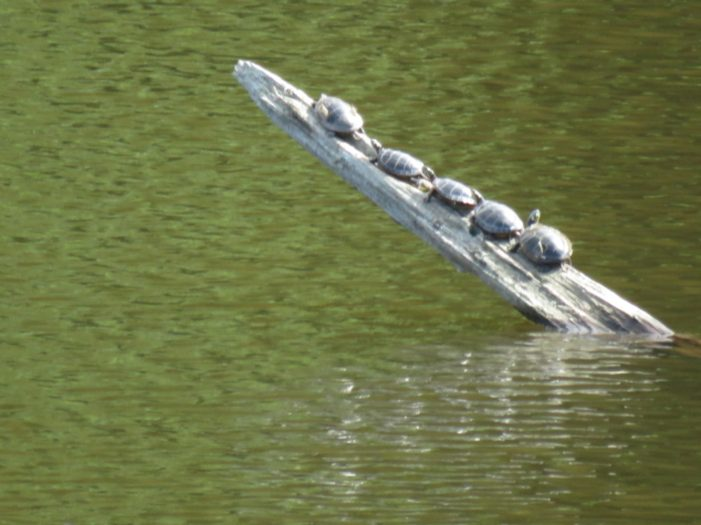 Five Little Turtles in a Row