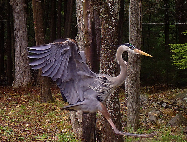 Great Blue Heron Caught on Game Camera