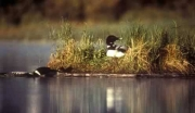 Early 2018 Loon Deaths from Lead Poisoning Prompt Message About Toxic Fishing Tackle