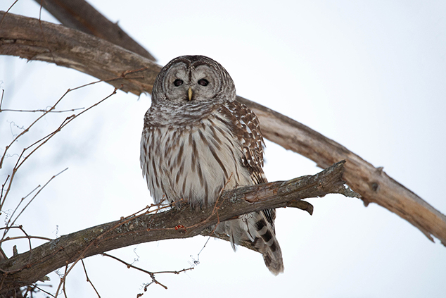 Barred Owl Seen on Neighborhood Watch