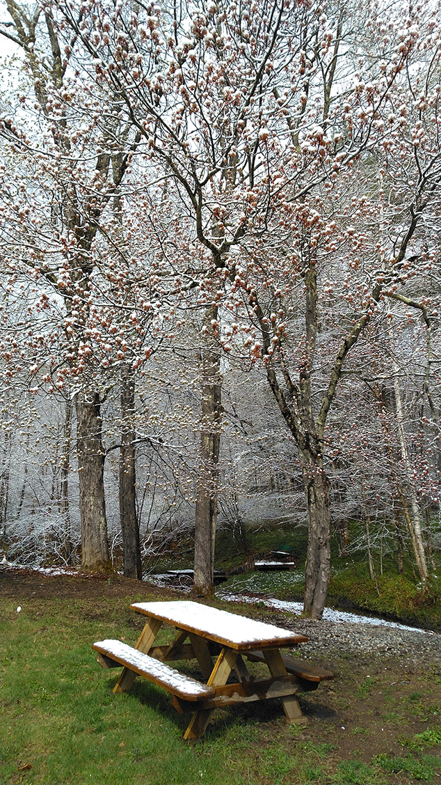 A Final Spring Snow Coats the Blossoming Trees in May