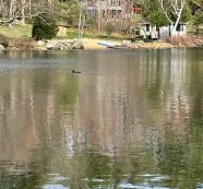 A Lone Loon is Seen Drifting on Highland Lake