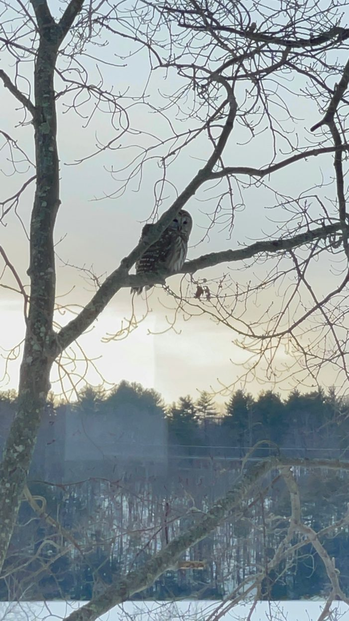 Barred Owl Caught on Camera While Resting in Tree