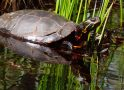 Snapping Turtle Practices Social Distancing