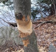 Gnawed Tree Shows Beavers are Hard at Work on Bradley Lake