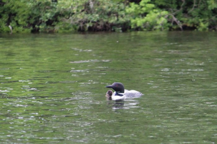 Highland Lake Loon Chick Loses Its Fight for Life