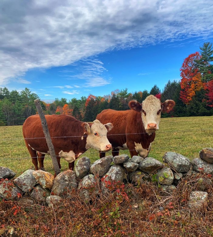 Hersey Cow Duo Provides Photo Op for Passersby