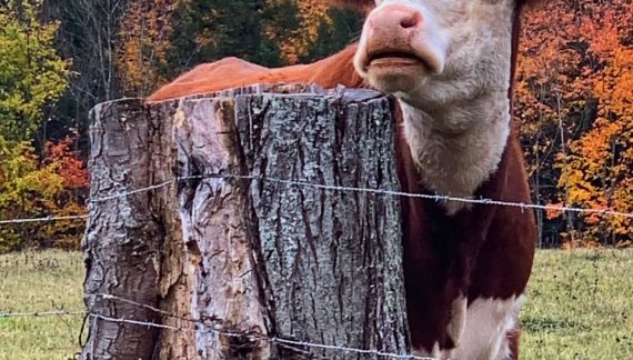 A Hersey Farm Cow Poses with a Backdrop of Fall Folliage