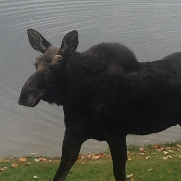 Jan Brennan sent us this shot of a young moose who appeared at Highland Lake on October 28. Beth Frost reports that the youngster took a stroll along Maple Street before disappearing behind Highland Lake Apple Farm.