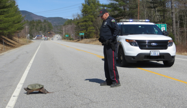 Officer David Hewitt of the Andover Police Department helped a large snapping turtle cross Route 11 in Cilleyville on Saturday, April 16.  He stopped traffic for her to cross from the Blackwater River to the swampy area across the highway, which she did in a steady, determined manner. Photo and caption: Lindy Heim